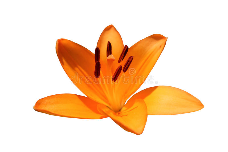 Asiatic hybrid lily `Apeldoorn` one orange flower isolated on wh. Ite royalty free stock photography