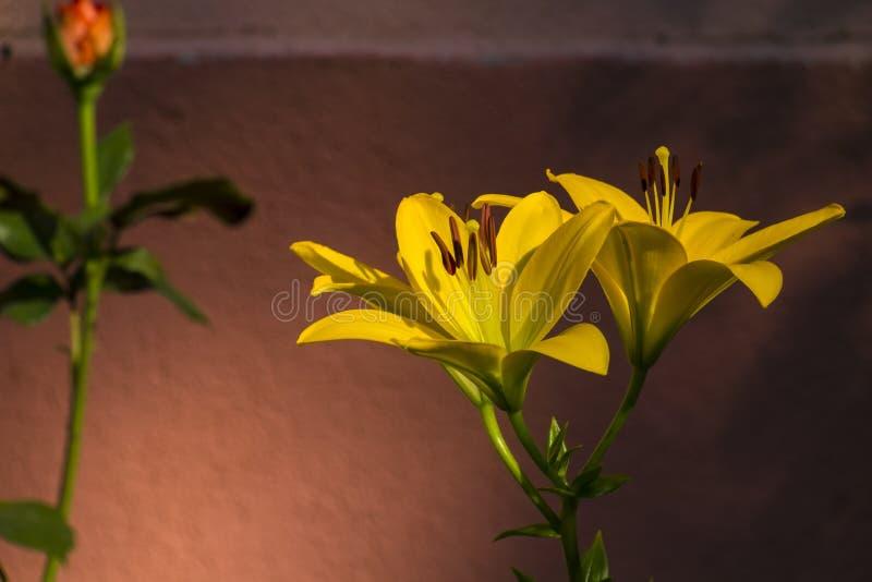 Asiatic Hybrydowa leluja - kolor żółty leluja obraz royalty free