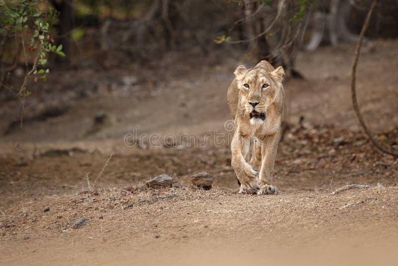 Asiatic lew kobieta w natury siedlisku w Gira parku narodowym w India zdjęcie stock