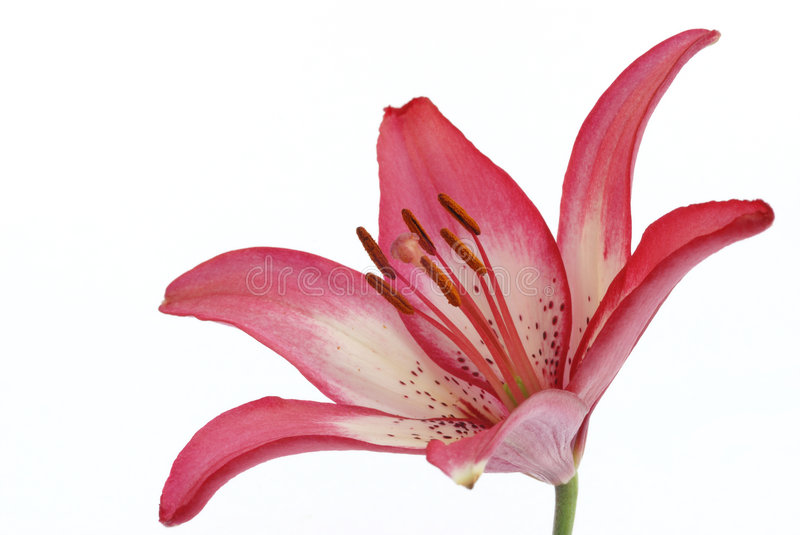 Asiatic lily royalty free stock photo