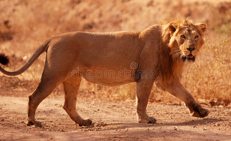 Asiatic lion royalty free stock photography