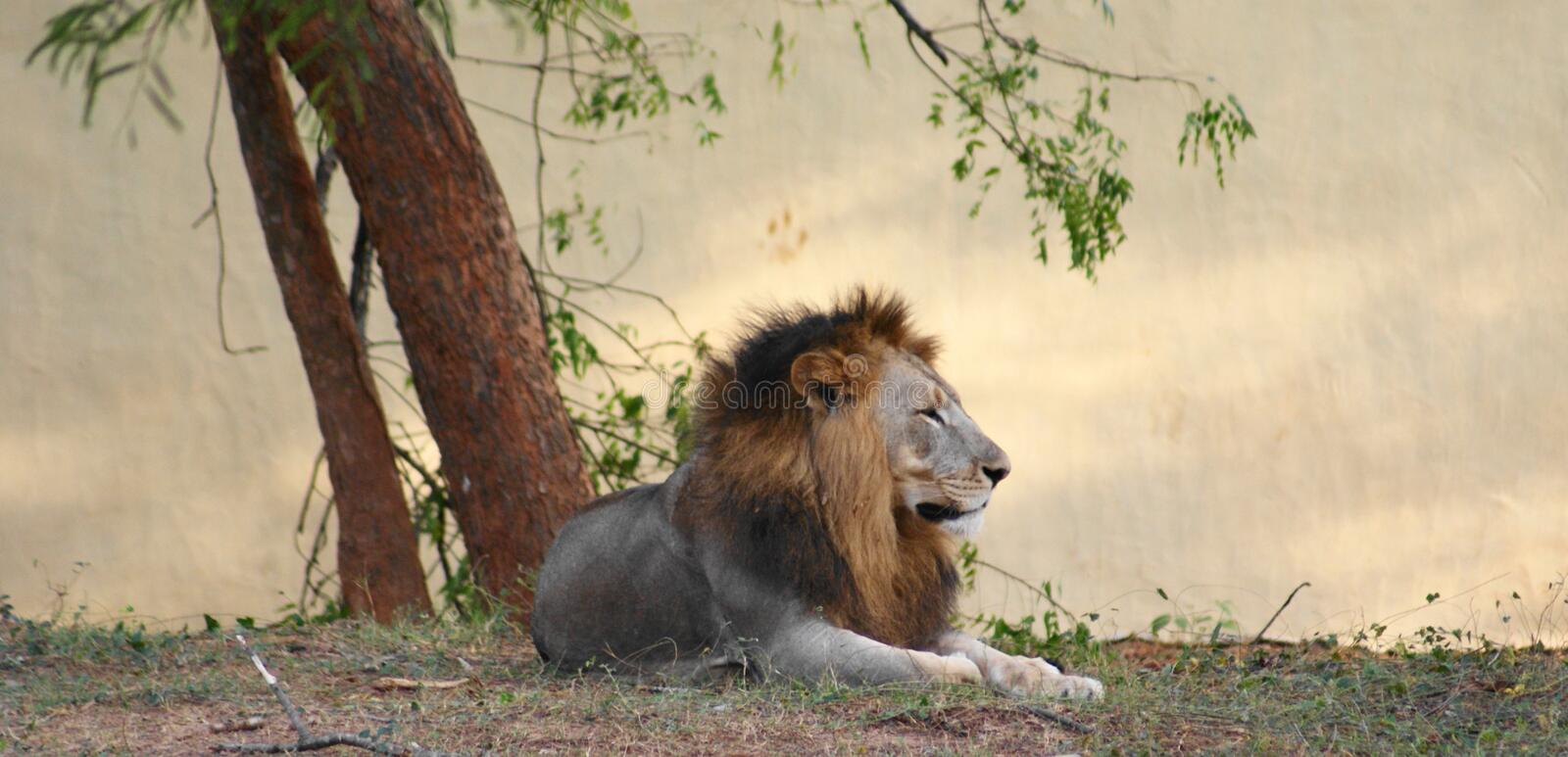 Download Asiatic Lion Royalty Free Stock Photography - Image: 9444647