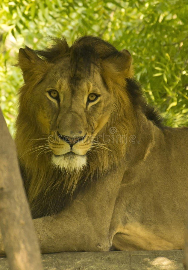 Asiatic Lion Closeup Portrait stock photography