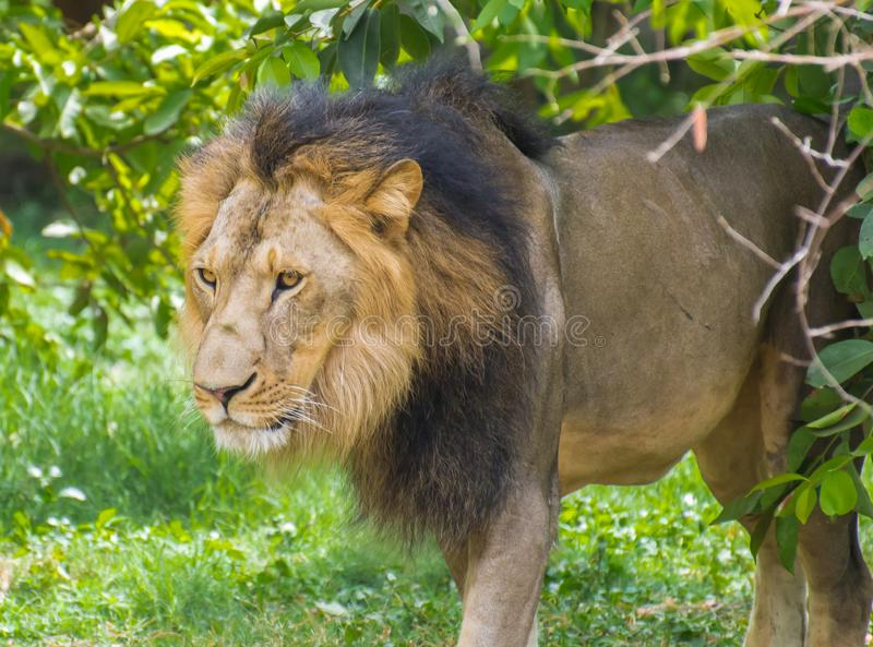 Asiatic Lion stock image