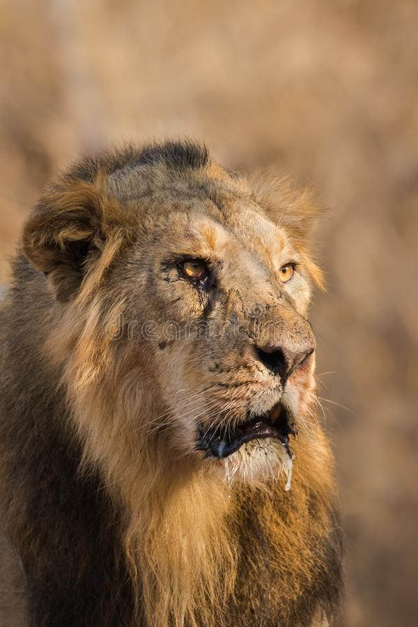 Asiatic Lion male close up royalty free stock photos