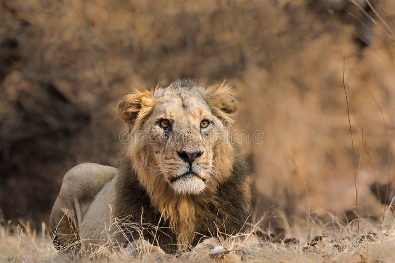 Asiatic Lion male lying on the ground stock photos