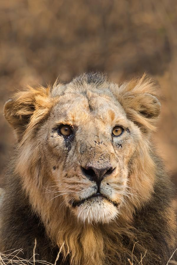 Asiatic Lion male royalty free stock photos