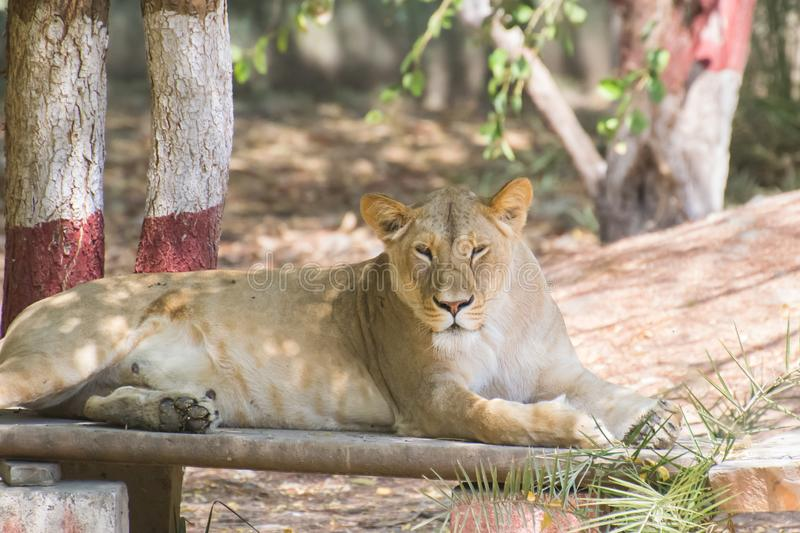 Asiatic Lion Female sitting stock image