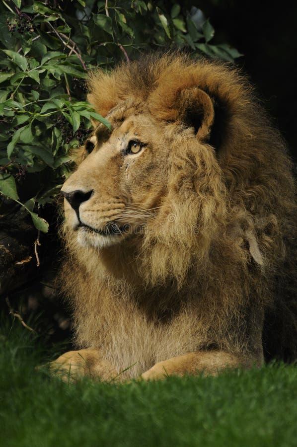 Asiatic Lion  ( Panthera Leo Persica ) Stock Photos
