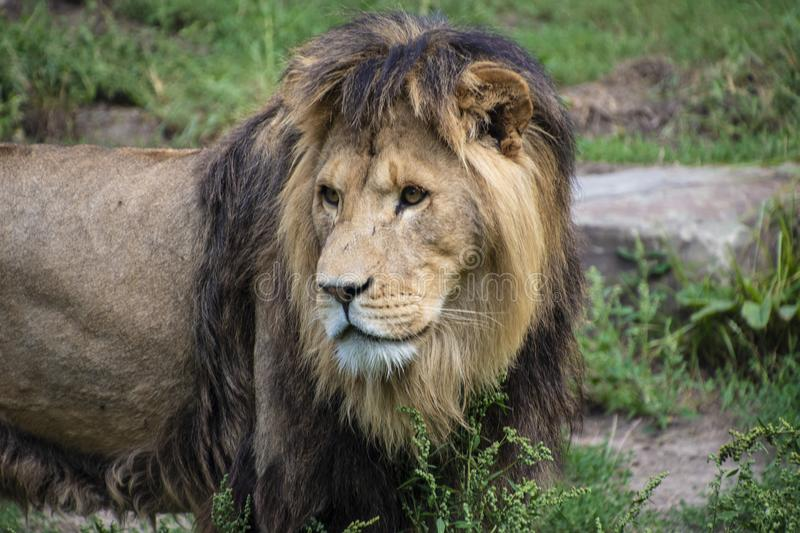 Asiatic lion Panthera leo persica. A critically endangered species.  stock photos
