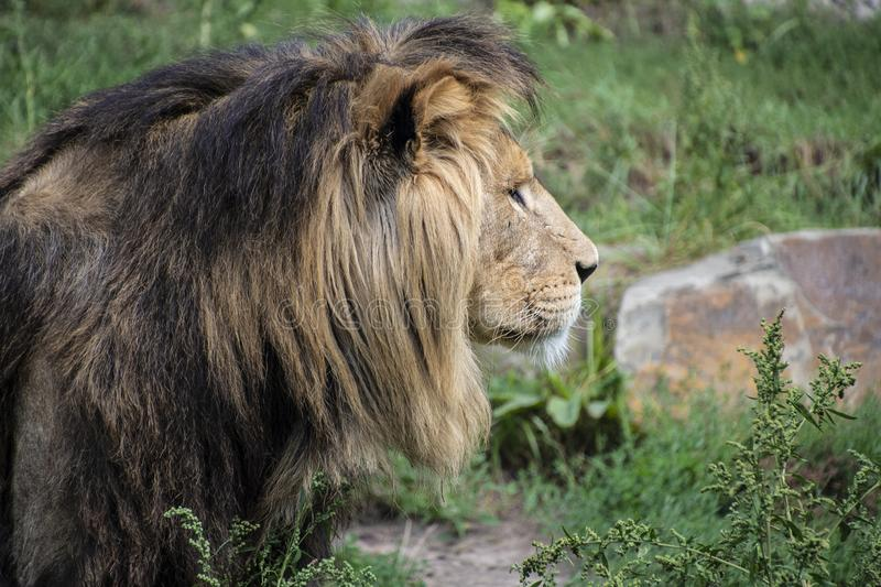 Asiatic lion Panthera leo persica. A critically endangered species.  stock photo