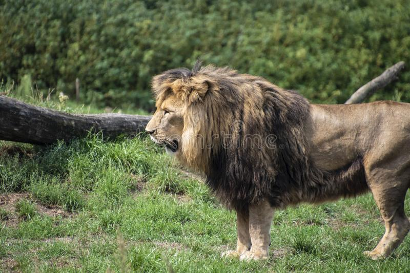 Asiatic lion Panthera leo persica. A critically endangered species.  stock photography