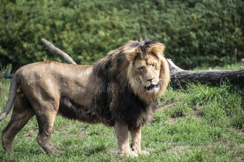 Asiatic lion Panthera leo persica. A critically endangered species.  stock image
