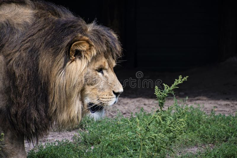 Asiatic lion Panthera leo persica. A critically endangered species.  royalty free stock image