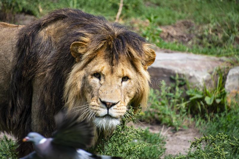 Asiatic lion Panthera leo persica. A critically endangered species.  royalty free stock photography