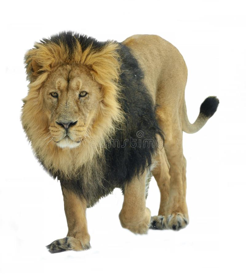Asiatic lion Panthera leo persica on white background. Walking royalty free stock images