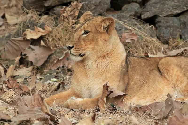 Sitting Asiatic Lioness. The Asiatic lion Panthera leo leo is a lion population in Gujarat, India, which is listed as Endangered on the IUCN Red List because of royalty free stock photo