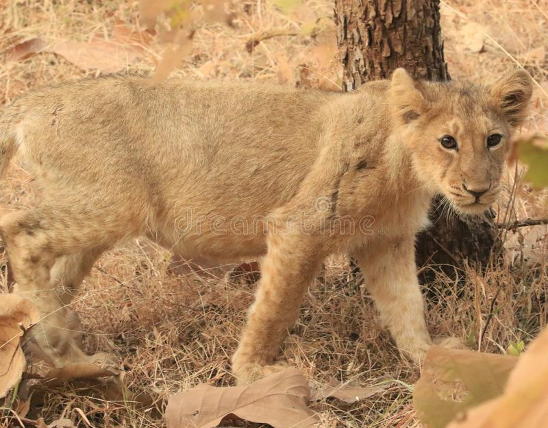 Asiatic cub 2. The Asiatic lion Panthera leo leo is a lion population in Gujarat, India, which is listed as Endangered on the IUCN Red List because of its small royalty free stock photography