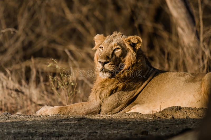 Asiatic Lion resting royalty free stock photo