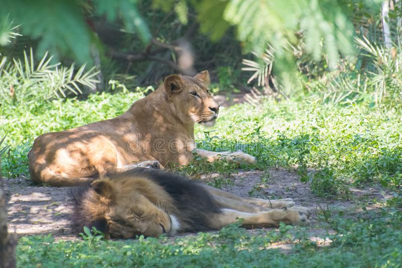 Asiatic Lioness and Lion India royalty free stock photography