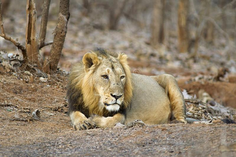 Asiatic lwa lub Panthera Leo persica, odpoczywa w lesie przy Gira parkiem narodowym Gujarat, India zdjęcie royalty free