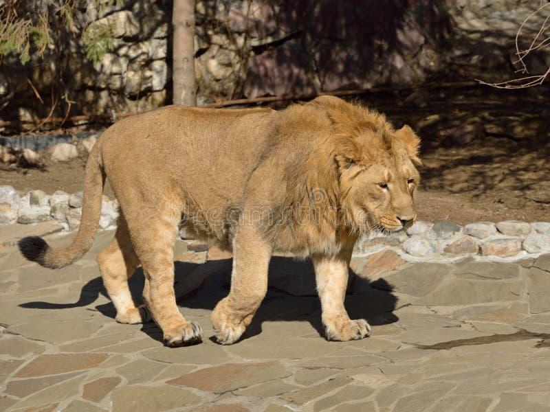Asiatic lwa Panthera Leo persica iść fotografia royalty free