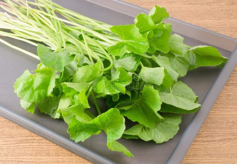 Asiatica的Centella或Gotu盘子的可拉树厂 免版税库存图片