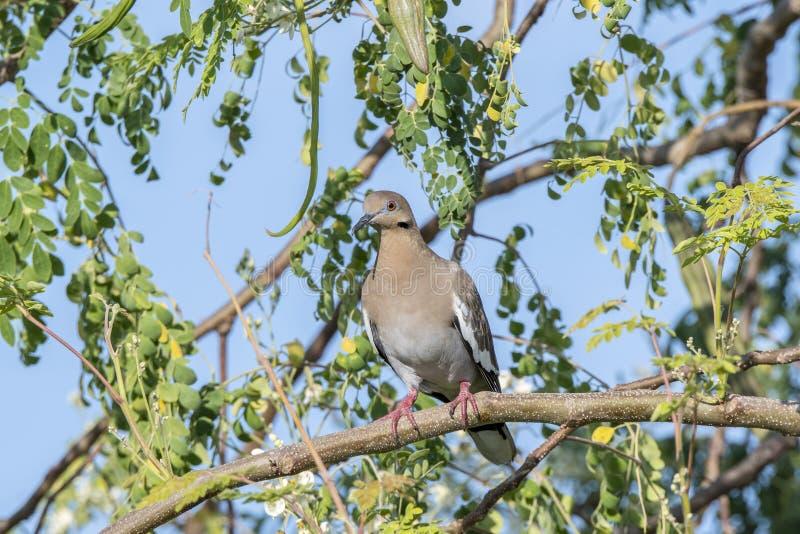 asiatica Blanco-con alas de Zenaida de la paloma encaramado en un árbol imagen de archivo