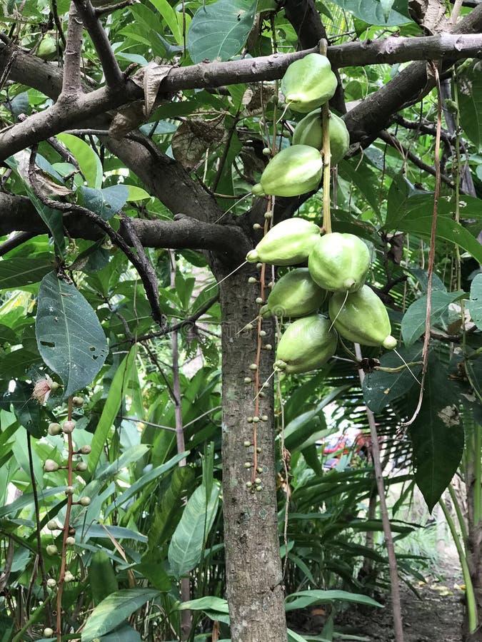 Asiatica eller Putat eller fiskgiftfrukter av Barringtonia träd royaltyfria foton