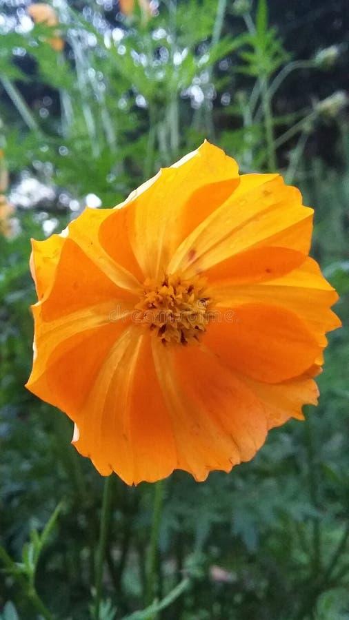 Asiatico del fiore di Kenikir fotografia stock