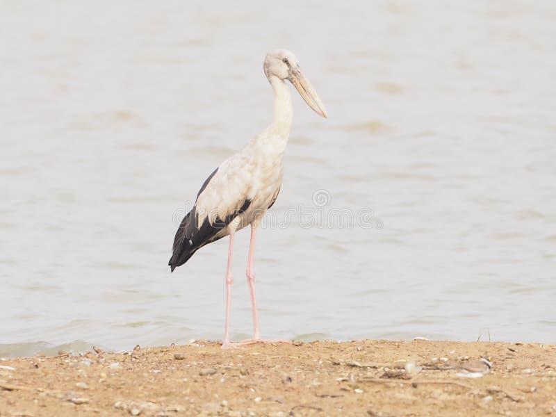 Asiatico Openbill di nome dell'uccello stan sulla sabbia in laguna fotografie stock