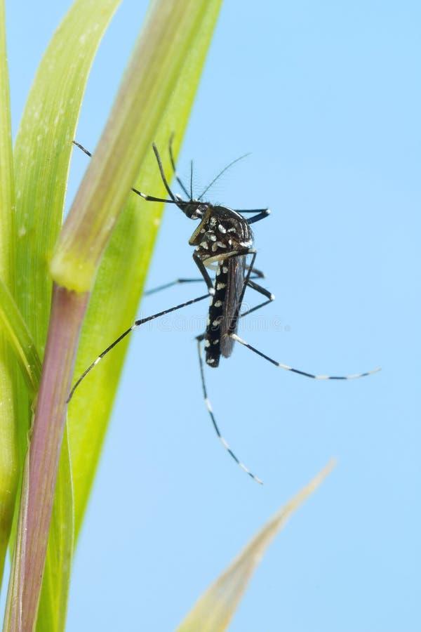 Asiatico Tiger Mosquito (aedes albopictus) fotografia stock libera da diritti