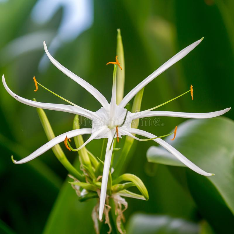Asiaticum di Crinum del giglio del ragno fotografia stock libera da diritti