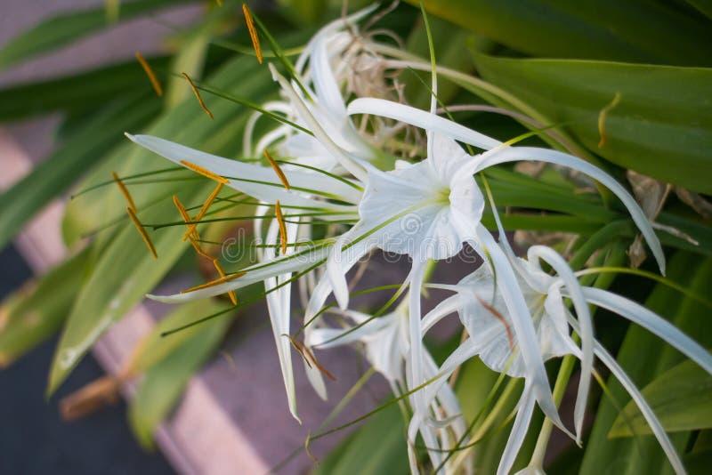 Asiaticum do lírio de Crinum ou do Crinum foto de stock