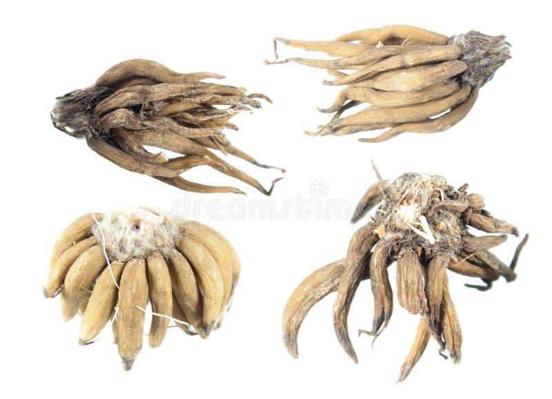 Asiaticus do ranúnculo ou rebento persa do tubérculo do botão de ouro isolado no fundo branco imagem de stock