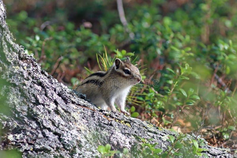 Asiaticus do sibiricus do Tamias O esquilo olha devido ao cedro fotos de stock royalty free