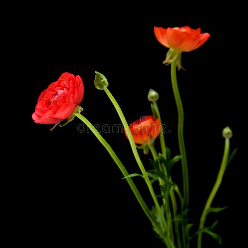Asiaticus rosso del Ranunculus fotografia stock
