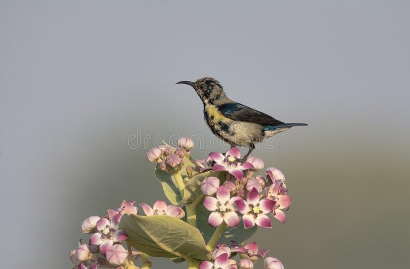 Asiaticus roxo fêmea de Cinnyris do sunbird empoleirado em flores imagens de stock royalty free