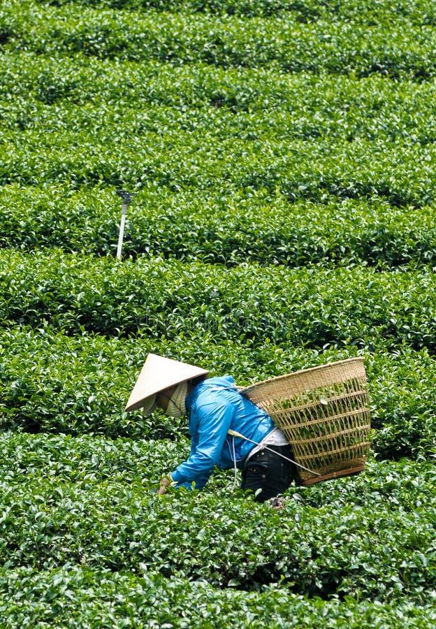 Asiatische Arbeitskräfte, die Tee ernten lizenzfreies stockbild