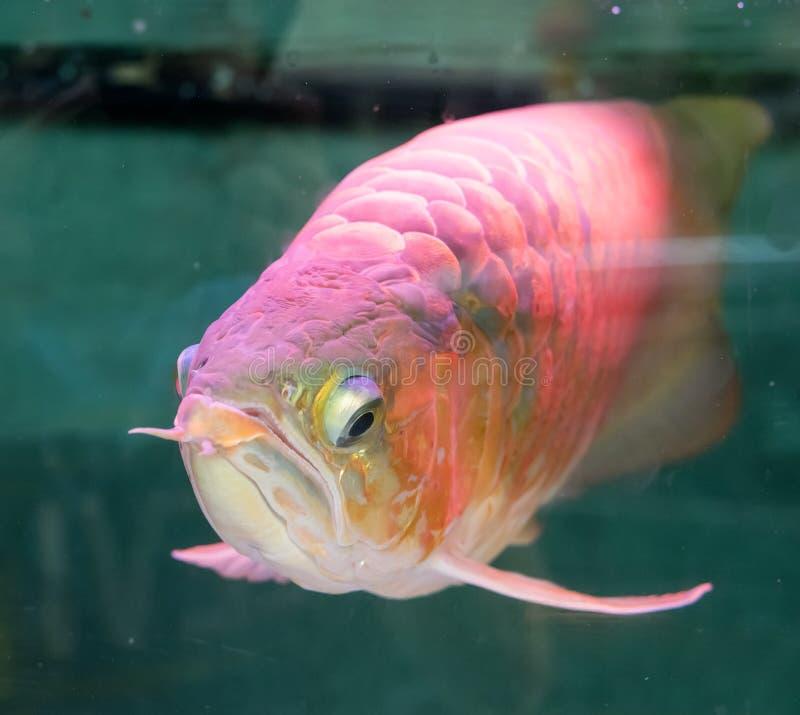 Asiatische arowana Drachefische stockfotografie