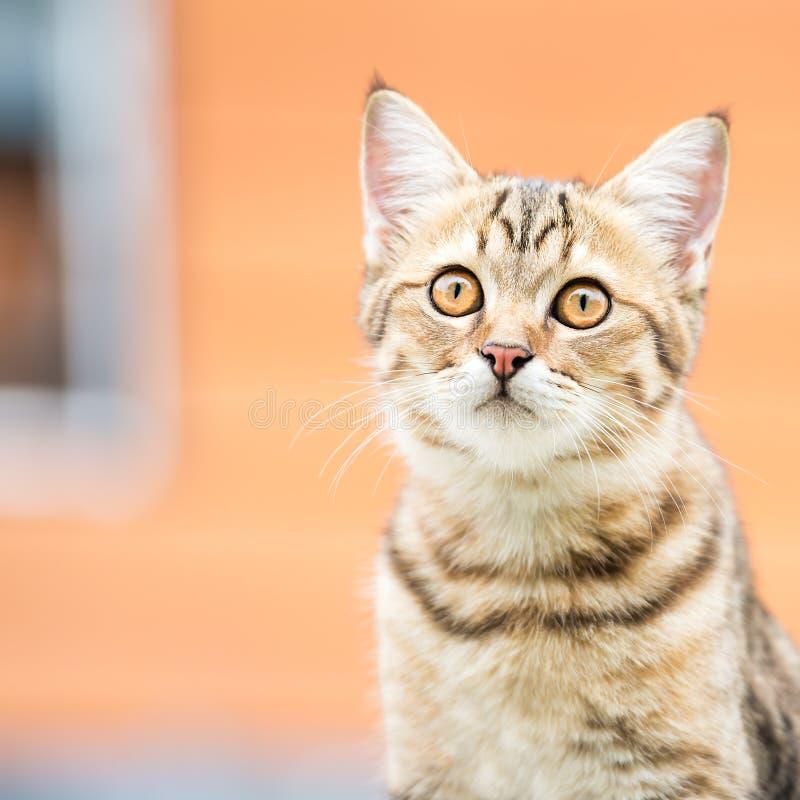 Asiatische braune Katze lizenzfreies stockbild