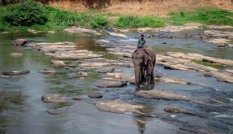 Asiatische Elefanten, die in einem Fluss in der Nähe des Dorfes Pinnawala spazieren lizenzfreies stockfoto