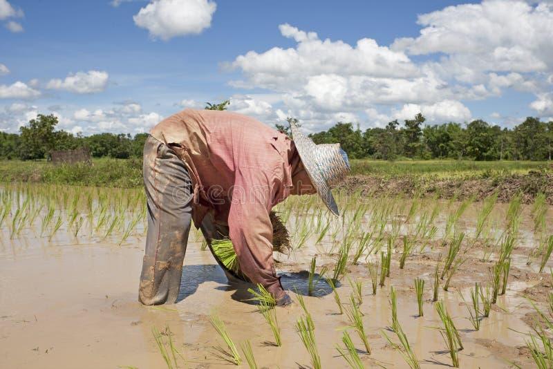 Asiatische Frau arbeitet an dem Reisfeld stockfotografie