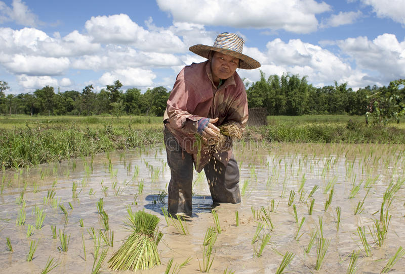 Asiatische Frau arbeitet an dem Reisfeld lizenzfreies stockfoto