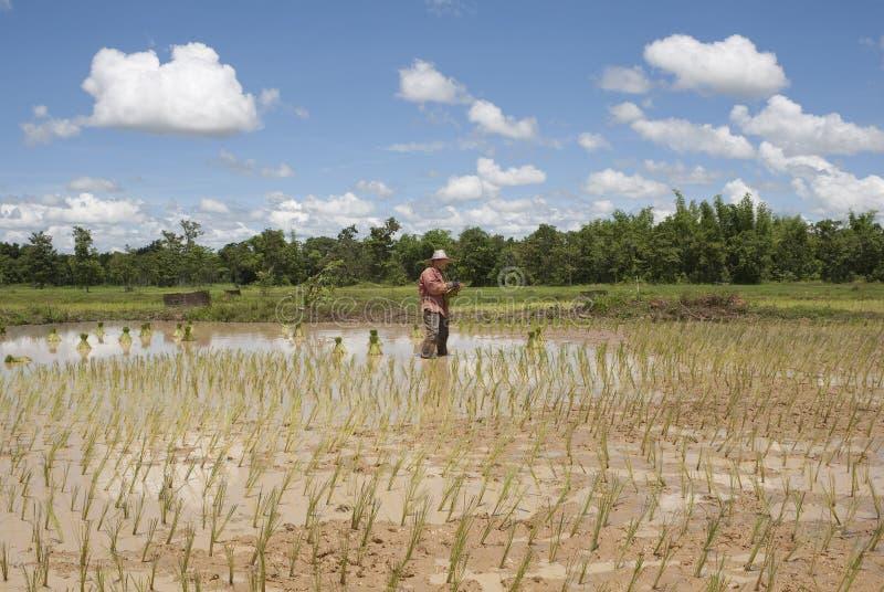 Asiatische Frau auf dem Reisgebiet, Thailand stockfoto