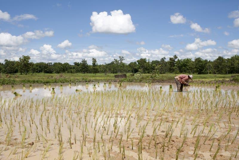 Asiatische Frau auf dem Reisgebiet, Thailand stockbilder