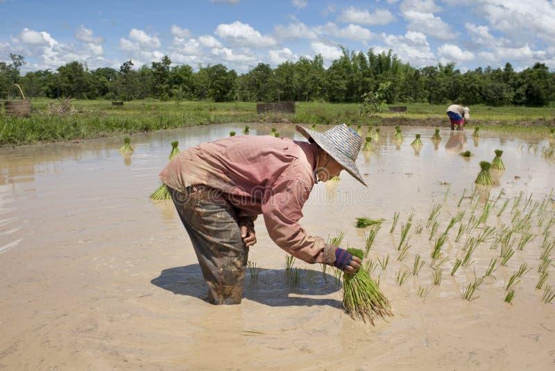 Asiatische Frau auf dem Reisgebiet, Thailand stockfotografie