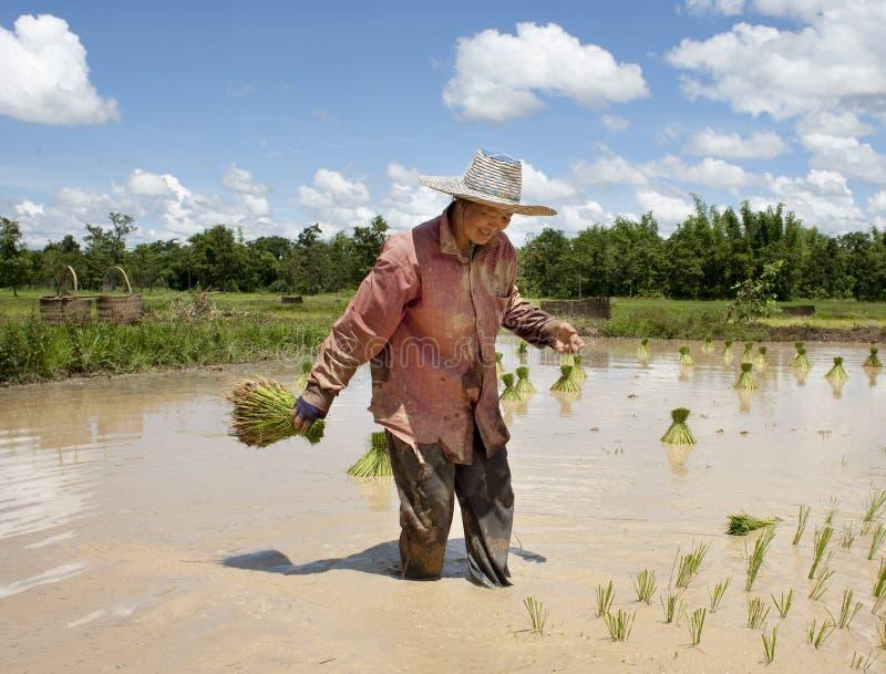Asiatische Frau auf dem Reisgebiet, Thailand lizenzfreie stockfotografie