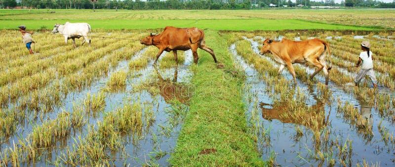 Asiatische Kinderarbeit neigen Kuh, Vietnam-Reisplantage lizenzfreie stockfotos