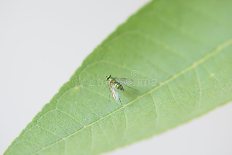 Asiatische lange mit Beinen versehene Fliege lizenzfreie stockbilder